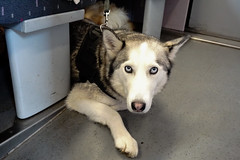 Extra Friend (UnsignedZero) Tags: animal belgium dog in indoor indoors inside item object trainride