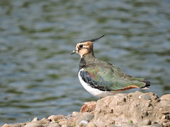 Lapwing (deannewildsmith) Tags: lapwing bird