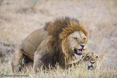 sexo en la sabana (Manuel G.S.) Tags: lion sex leon manoleison nikon 300mm d810 manuel gomez sanchez sabana masai mara kenia httpswwwfacebookcomphotographieswildlifemanuelgomezsanchezreftsfrefts copula
