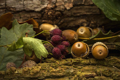 Autumn (Kev Gregory (General)) Tags: autumnal set piece put together from items found some nearby woods kev gregory canon 7d macro 100 100mm f28 mondays usm ef acorn autumn berry berries bark wood leaf leaves fall season