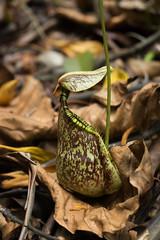 Nepenthes rafflesiana (Boazng) Tags: nepenthes rafflesiana singapore pitcher plant