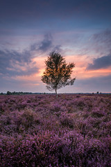 Sunset Ginkelse heide (Mario Visser) Tags: ede ginkelseheide heide paars heather sunset mariovisser nikon tree purple blue sun clouds veluwe dutch