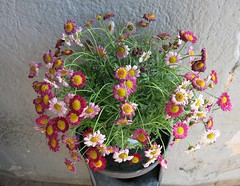 Thursday Colours - Flowers for my Flickr Friends (Pushapoze) Tags: italia italy sicilia monreale flowers fiori fleurs