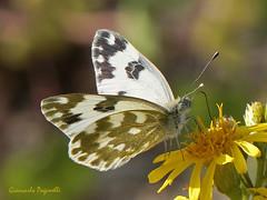 Pontia edusa (giancarlo.paganelli47) Tags: farfalla butterfly schmetterling papillon mariposa    lepidotteri lepidoptera pontia edusa pieridae bath white