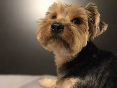 New iPhone 7 Plus Portrait (zsanto) Tags: puppy animal iphone7plus cute iphoneportrait portrait yorkie dog shotoniphone7