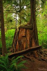 Hemlock-Green-Woman-on-Nurselog-TreeGirl-TKAweb-WM (TreeGirlPhoto) Tags: westernhemlock tsugaheterophylla treegirl julianneskaiarbor olympicnationalpark douglasfir pseudotsugamenziesii greenwoman greenman nurselog tree