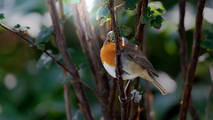 Hidden robin ! (Franck Zumella) Tags: red yellow redbreast robin rouge rougegorge cach bois foret forest hidden funny amusant shadow light ombre lumire highiso high iso