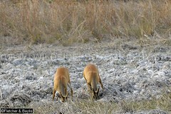 37932 Northern red muntjac (Muntiacus vaginalis) in a seasonal waterhole (trapeang) in dry deciduous forest during the dry season, Mondulkiri Protected Forest, Mondulkiri, Cambodia. IUCN=Least Concern. (K Fletcher & D Baylis) Tags: animal fauna mammal asia cambodia wildlife deer waterhole indochina muntjac barkingdeer mondulkiri muntiacus trapeang leastconcern wildsidephotography drydeciduousforest srepok fletcherbaylis easternplainslandscape northernredmuntjac muntiacusvaginalis mondulkiriprotectedforest srepokwildernessarea