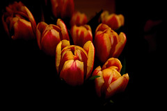 Tulip Invasion 39 (Tjerger) Tags: winter red plant black flower macro green nature yellow closeup wisconsin leaf tulips tulip bunch bloom invasion