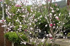 Cherry blossom (ddsnet) Tags: plant flower sony cybershot cherryblossom sakura     rx10
