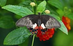 Panasonic FZ1000, Butterflies, Botanical Gardens, Montral, 8 March  2015 (30) (proacguy1) Tags: montral butterflies botanicalgardens panasonicfz1000 8march2015