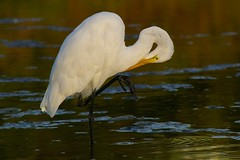 Egret.375r (candysantacruz) Tags: santacruz bird water egret pleasurepoint scphoto