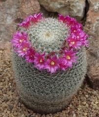 DSC03858 (***Images***) Tags: cactus flower flora pflanze kaktus kakteen coth greatphotographers fantasticnature citrit saariysqualitypictures