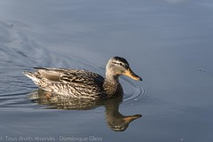 Canard Colvert - Mallard duck (dom67150) Tags: bird nature animal female duck mallard oiseau canard colvert femelle palmipede