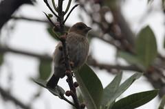 Indigo Bunting (Passerina cyanea) (birdbraintv) Tags: county bird beach female florida birding indigo palm migration bunting