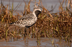 Grey Plover (Severnrover) Tags: summer bird beach nature birds grey wildlife severn plover plumage wader