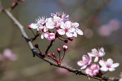 Plum Blossoms (Paul Rioux) Tags: plant flower tree nature foliage plumblossoms prioux