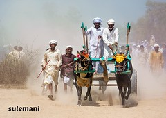 bull cart show at punjab ,pakistan (TARIQ HAMEED SULEMANI) Tags: show travel summer tourism colors race trekking canon culture bull sensational cart tariq cholistan bullrace supershot bullcart concordians sulemani theperfectphotographer tariqhameedsulemani duniapur