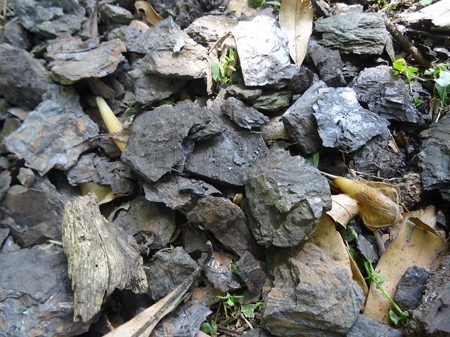 新竹尖石煤礦葉子化石05