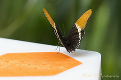 Butterfly (Wei, Willa) Tags: select