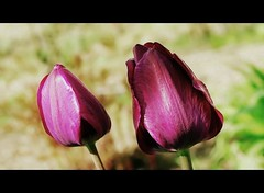 Un duo de tulipes (mamietherese1) Tags: coth fantasticnature alittlebeauty phvalue saariysqualitypictures fleursetpaysages netartii