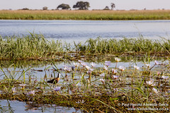 African Jacana On Water Lilies In Chobe National Park, Botswana