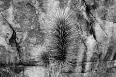 Joshua Tree National Park, 2015 (matt-artz) Tags: blackandwhite bw nationalpark desert joshuatree mojave mojavedesert joshuatreenationalpark