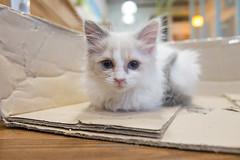 Cat Cafe :: Busan, Korea (bgfotologue) Tags: cats pets coffee shop cat hongkong cafe korea busan kr southkorea 香港 bg 貓 韓國 貓咪 釜山 咖啡店 南韓 bellphoto photobybg pocat