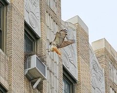 Dora returns to her nest (Goggla) Tags: new york nyc red urban bird female village adult nest hawk tail towers dora east raptor ageloff