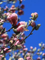 Magnolia and Sky (le