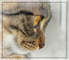 Eye Eye (Denni1980) Tags: closeup cat kitten kitty whiskers sheldon catcloseup catseyes catsnose catswhiskers