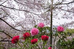 DS7_1048.jpg (d3_plus) Tags: plant flower building nature rain japan walking spring scenery shrine bokeh kamakura daily architectural telephoto rainy bloom  cherryblossom  sakura tele yokohama  tamron  kanagawa  shintoshrine   dailyphoto sanctuary 28300mm  shonan  kawasaki thesedays     28300    tsurugaokahachimangu    holyplace tamron28300mm   tamronaf28300mmf3563   a061   architecturalstructure telezoomlens d700   tamronaf28300mmf3563xrdildasphericalif nikond700 tamronaf28300mmf3563xrdildasphericalifmacro tamronaf28300mmf3563xrdild nikonfxshowcase a061n