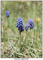 Muscari neglectum (EEMosThEw) Tags: flowers alps primavera flora trentino