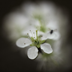 Mono (Lumase) Tags: flowers white macro insect square mono whiteflower spring close smalldof