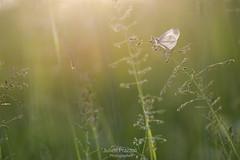 Bain d'soleil... (Julien Prazzoli) Tags: macro nature butterfly julien nikon fance papillon insecte proxy d800 prazzoli