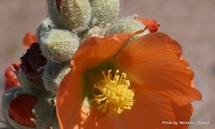FuzzyBloomers (ThrghMyEyes) Tags: flowers arizona cactus flower outdoors colorful sony mesa orrange blooming inthepark desertflowers inthedesert prettycactus