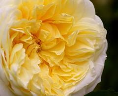 Abundance of petals (lou8wil) Tags: uk colour nature beautiful beauty rose yellow wales garden petals flora pattern pastel full petal fancy abundance volume frilly