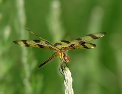 Halloween Pennant (mcnod) Tags: mcnod dragonfly pennant halloweenpennant celithemiseponina troyhill elkridge july 2016
