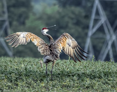 Sandhill Crane Courtship Dance (Birds&More) Tags: cranes sandhillcranes fermilab