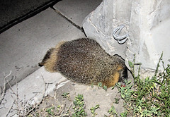 Dead Marmot (Eyellgeteven) Tags: animal animals fur dead concrete mammal death rodent furry marmot curb carcass groundsquirrel rodentia deceased rockchuck yellowbelliedmarmot marmotaflaviventris eyellgeteven