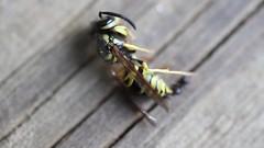 Yellow Jacket Struggle (augphoto) Tags: augphotoimagery animal ant insect wasp wildlife yellowjacket