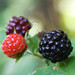 """Ripening Black Raspberries • <a style=""""font-size:0.8em;"""" href=""""http://www.flickr.com/photos/124671209@N02/28116029372/"""" target=""""_blank"""">View on Flickr</a>"""