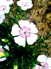 Flowers at my home :) i love white (mannygrewal1) Tags: pink flowers white green nature leaves soil