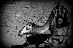 009 (StefanoMassai) Tags: travel desert morocco tribes marocco viaggio nomads deserto tuareg nomadic trib nomadi