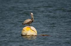 Brown Pelican (Pelecanus occidentalis) (ekroc101) Tags: california birds sandiego brownpelican shelterisland pelecanusoccidentalis