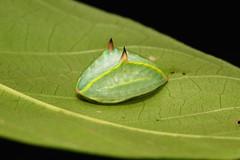 "Slug Caterpillar (Cup Moth, Limacodidae) ""Lucifer"" (John Horstman (itchydogimages, SINOBUG)) Tags: insect macro china yunnan itchydogimages sinobug cup moth lepidoptera limacodidae caterpillar larva slug lucifer"