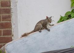 Squirrel (Seth J Dewey Photo) Tags: newhampshire nashua flickrphotowalk