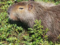 Capybara (Sallyrango) Tags: nature argentina wildlife wetlands carpincho capybara esterosdelibera iberawetlands
