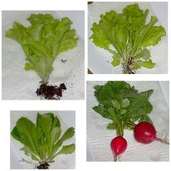 2008 Garden, June 5 (genesee_metcalfs) Tags: collage spring michigan june vegetable garden radish lettuce
