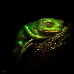 Le Frog (chmeermann | www.chm-photography.com) Tags: lowkey portrait natur nikon d7100 lightroom silverefexpro2 nikkor colorefexpro4 quadratisch photoshop 70300 zoofrankfurt tiere frosch portrt nature squareformat
